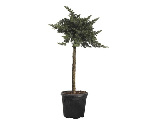 Wacholder FloraSelf Juniperus conferta ''Blue Pacific'' Stamm H 80-100 cm gesamt H 120-140 cm Co 18 L