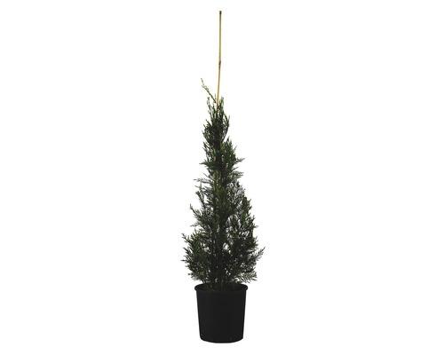 Leyland-Zypresse Kegel FloraSelf Cupressocyparis leylandii ''Pyramidalis'' H 100-125 cm Co 10 L