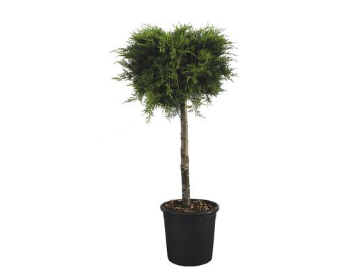 Gelber Wacholder Halbstamm FloraSelf Juniperus media ''Old Gold'' Stamm H 90-100 cm gesamt H 130-140 cm Co 18 L