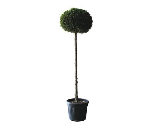 Gelbe Leyland-Zypresse Halbstamm FloraSelf Cupressocyparis leylandii ''Castlewellan Gold'' Stamm H 80-100 cm gesamt H 120-140 cm Co 25 L