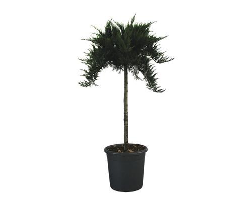 Tamarisken-Wacholder Stämmchen FloraSelf Juniperus sabina ''Tamariscifolia'' Stamm H ca. 80-100 cm, Gesamthöhe 130-140 cm Co 18 L