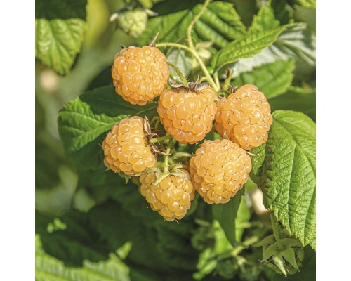 Framboisier d''automne à fruits jaunes FloraSelf Rubus idaeus ''Fallgold'' h 40-50 cm Co 2 l