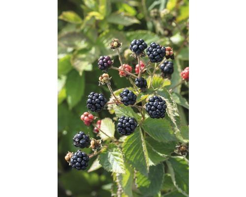 Mûrier nain sans épines FloraSelf Rubus fruticosus ''Little Black Prince'' h 50-60 cm Co 2 l