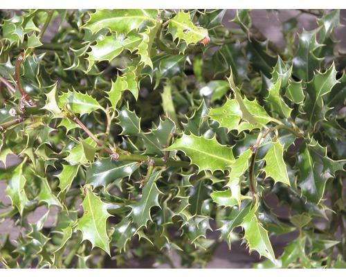 Houx boule FloraSelf Ilex meserveae ''Blue Holly'' H40-60 cm Co 6 L