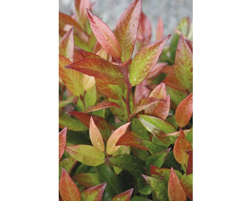 Traubenmyrthe Kugel FloraSelf Leucothoe axillaris ''Red Lips'' H 30-40 cm Co 6 L