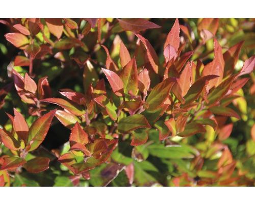 Traubenmyrthe FloraSelf Leucothoe fontanesiana ''Little Flames''® H 30-40 cm Co 6 L