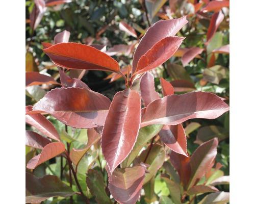 Glanzmispel FloraSelf Photinia fraseri ''Camilvy'' H 50-60 cm Co 6 L