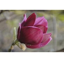 Magnolie FloraSelf Magnolia 'Genie' H 100-125 cm Co 10 L-thumb-0