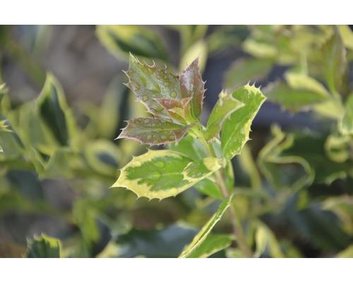Houx FloraSelf Ilex aquifolium ''J.C. van Tol'' H40-60 cm Co 6 L