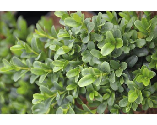 Buis boule FloraSelf Buxus sempervirens ''Woodburn Select'' H15-25 cm Co 3 L