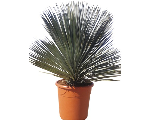 Yucca bleu FloraSelf Yucca rostrata H 100-120 cm Co 40 L