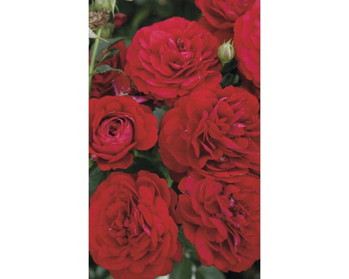 Rosier couvre-sol rose ''Bordeaux'' h 30-40 cm Co 5 l