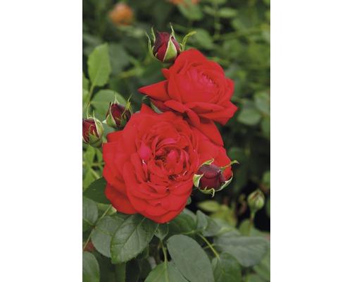 Rosier à grandes fleurs rose ''Tiamo'' h 30-40 cm Co 5 l