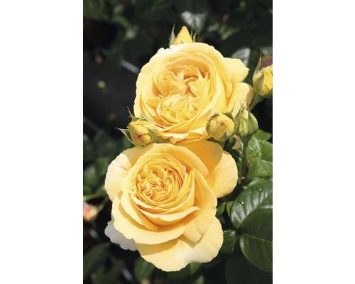 Rosier à grandes fleurs Nostalgie ''Candlelight'' h 30-40 cm Co 5 l