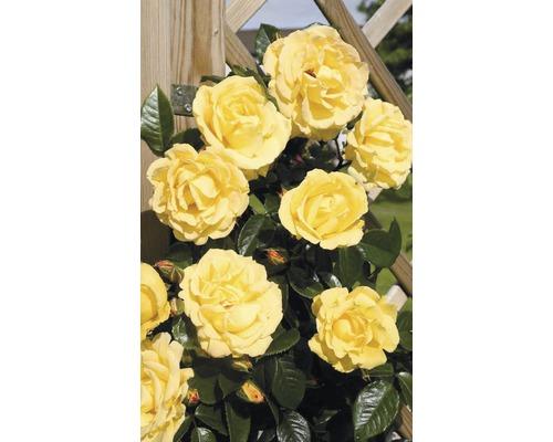 Rosier grimpant rose ''Dukat'' h 60-80 cm Co 5 l