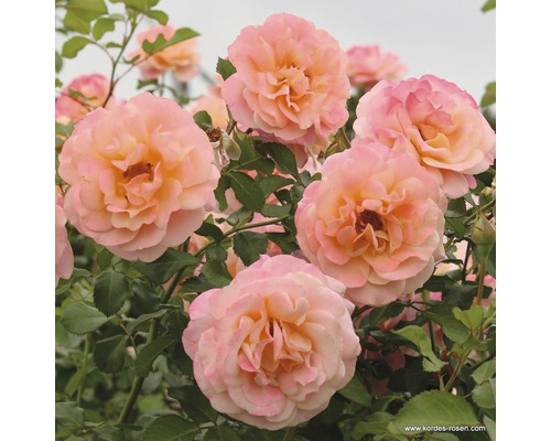 Rosier grimpant Rosa ''Peach Melba'' h 30-40 cm Co 5 l
