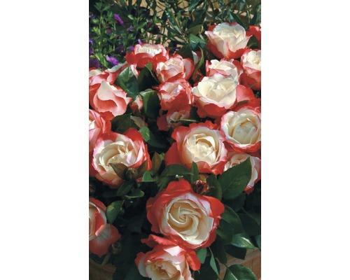 Rosier à grandes feuilles/rosier romantique ''Nostalgie'' h 30-40 cm Co 5 l