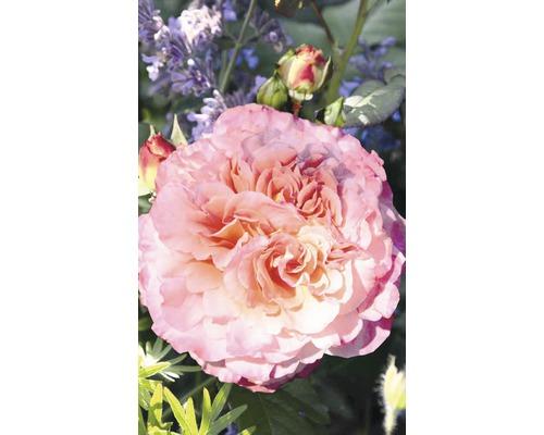Rosier parfumé rose ''Augusta Luise'' h 30-40 cm Co 5 l