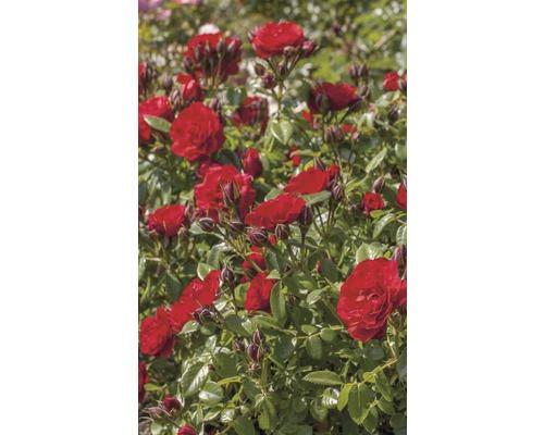 Rosier tige Rosa manetti ''Tilt Symphonie'' h env. 50 cm Co 5 l