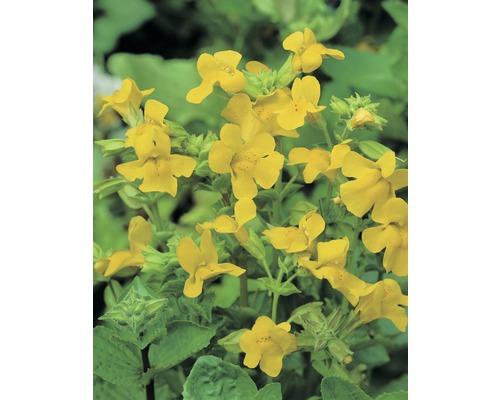 Mimule FloraSelf Mimulus luteus H10-25cm Co 0,6L