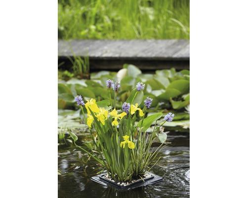 Lot de plantes de bassin pour bassin miniature FloraSelf, panier 18x18 cm avec anneau de culture