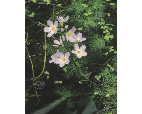 Hottonie des marais FloraSelf Hottonia palustris H10-20cm Co 1L