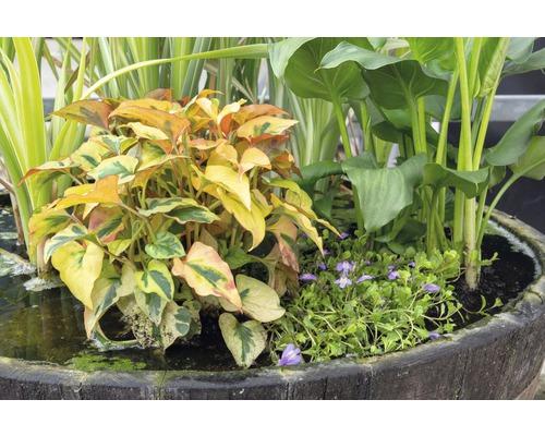 Lot de plantes de bassin FloraSelf pour bassin miniature, panier 45 cm