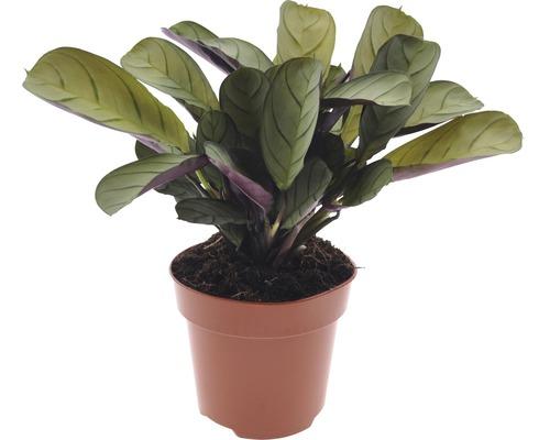 Marante, calathée FloraSelf Ctenanthe burle-marxii ''Amagris'' H20-30 cm pot Ø 12 cm