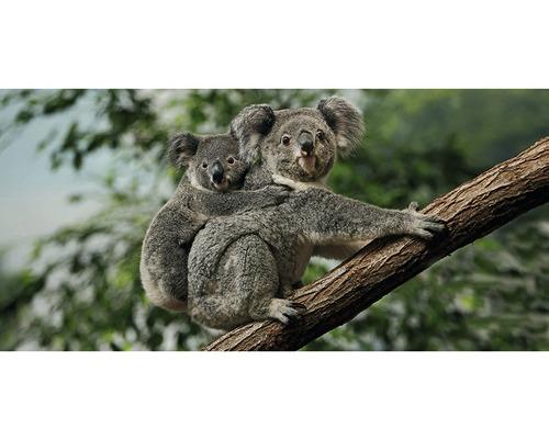 Carte postale Geo XXL Koalas 11x23 cm
