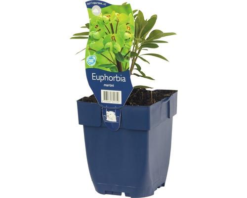 Bunte Wolfsmilch Euphorbia x martinii H 5-70 cm Co 0,5 (6 Stk.)