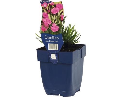 Œillet de Grenoble Dianthus gratianapolitanus ''Dinetta Lilac'' h 5-30 cm Co 0,5 l (6 pièces)-0