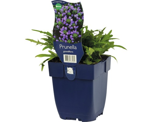 Brunelle à grandes fleurs Prunella grandiflora h 10-20 cm Co 0,5 l (6 pièces)