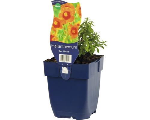 Hélianthème Helianthemum-Cultivars ''Ben Heckla'' h 10-25 cm Co 0,5 l (6 pièces)