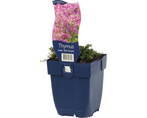 Thymian Thymus praecox ''Red Carpet'' H ca. 5 cm Co 0,5 L (6 Stk.)