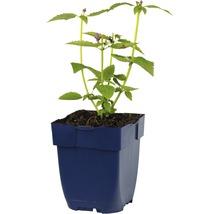 Cultivar d''Agastache Agastache-Cultivars ''Blue Fortune'' h 5-70 cm Co 0,5 l (6 pièces)-thumb-2
