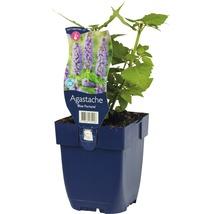 Cultivar d''Agastache Agastache-Cultivars ''Blue Fortune'' h 5-70 cm Co 0,5 l (6 pièces)-thumb-1