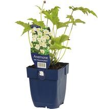 Anémone d''automne Anemone hupehensis var. japonica ''Honorie Jobert'' h 5-100 cm Co 0,5 l (6 pièces)-thumb-2