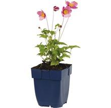 Anémone d''automne Anemone hupehensis var. japonica ''Splendens'' h 5-80 cm Co 0,5 l (6 pièces)-thumb-1