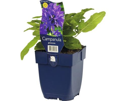 Campanule agglomérée Campanula glomerata h 5-50 cm Co 0,5 l (6 pièces)-0
