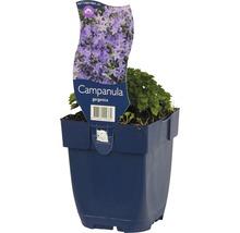 Campanule poscharskyana Campanula garganica h 5-15 cm Co 0,5 l (6 pièces)-thumb-0