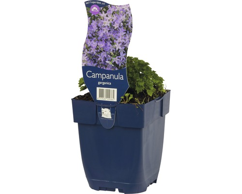 Campanule poscharskyana Campanula garganica h 5-15 cm Co 0,5 l (6 pièces)-0