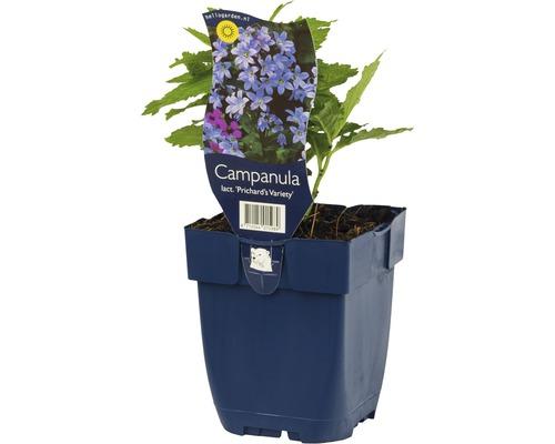 Campanule à fleurs laiteuses Campanula lactiflora ''Prichard''s Variety'' h 5-70 cm Co 0,5 l (6 pièces)