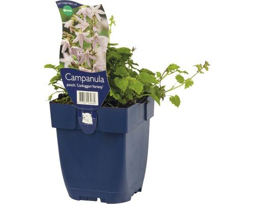 Campanule Campanula poscharskyana ''Lisduggan Variety'' h 5-20 cm Co 0,5 l (6 pièces)