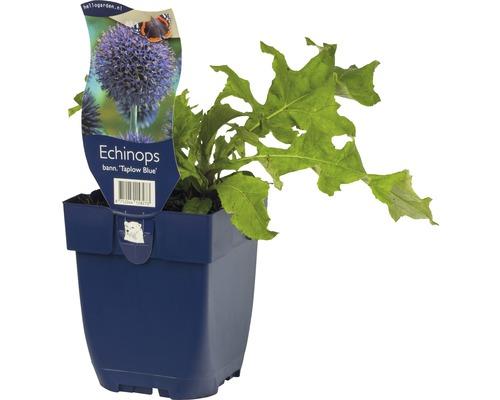 Boule azurée Echinops bannaticus ''Taplow Blue'' h 5-120 cm Co 0,5 l (6 pièces)