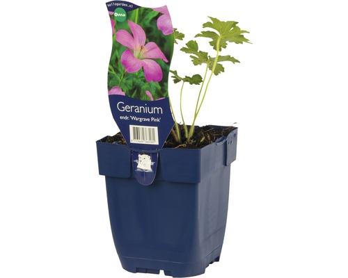 Géranium Geranium endressii ''Wargrave Pink'' h 5-35 cm Co 0,5 l (6 pièces)