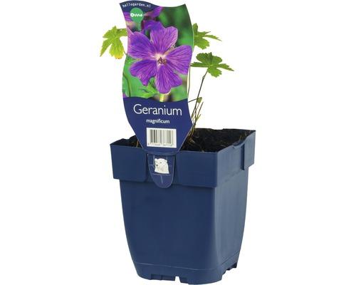 Géranium Geranium x maginificum h 5-50 cm Co 0,5 l (6 pce.)