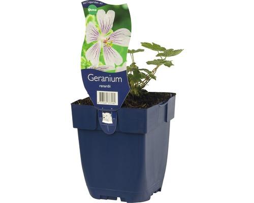 Géranium Geranium renardii h 5-25 cm Co 0,5 l (6 pce.)