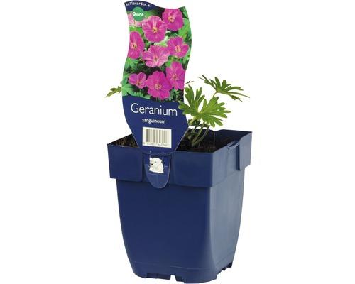Géranium Geranium sanguineaum h 5-40 cm Co 0,5 l (6 pièces)