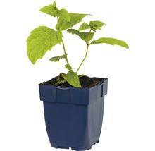Fleur de cire Kirengeschoma palmata h 5-70 cm Co 0,5 l (6 pièces)-thumb-1