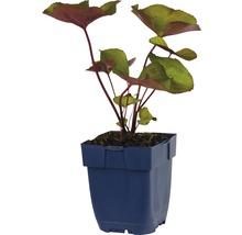 Ligulaire, ligulaire d''or Ligularia dentata ''Desdemona'' h 5-90 cm Co 0,5 l (6 pce.)-thumb-1